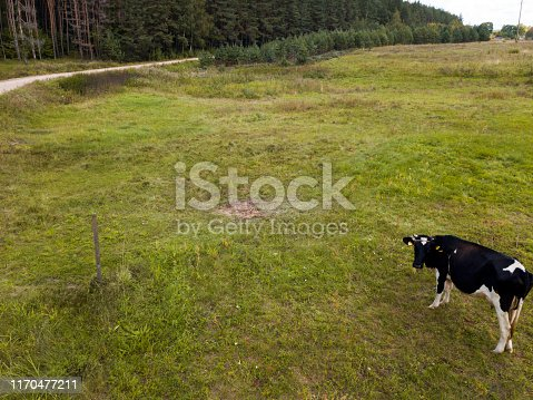 Tethered  lonely cow on the green pasture, bired eye view
