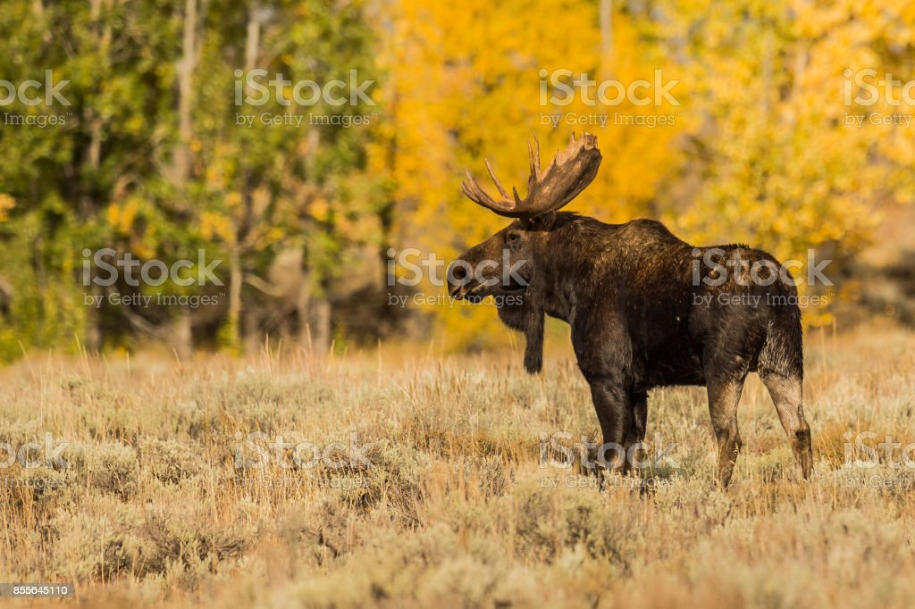 Teton Bull Moose stock photo