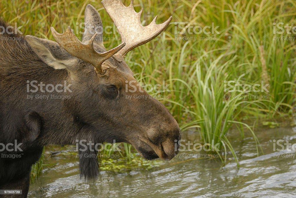 Teton Moose royalty-free stock photo