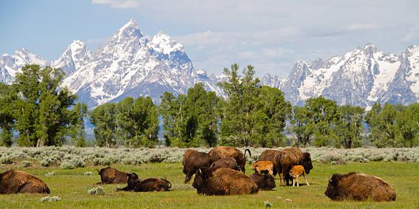 Teton Range and Bison II stock photo