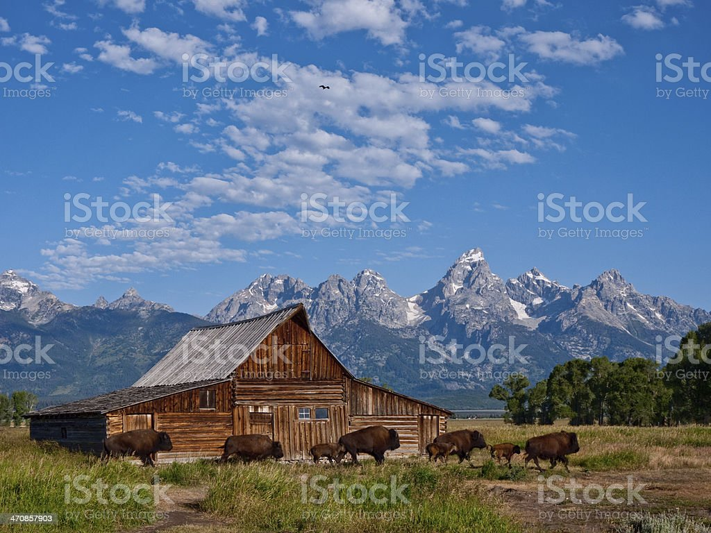Tetons with Barn and Bison stock photo