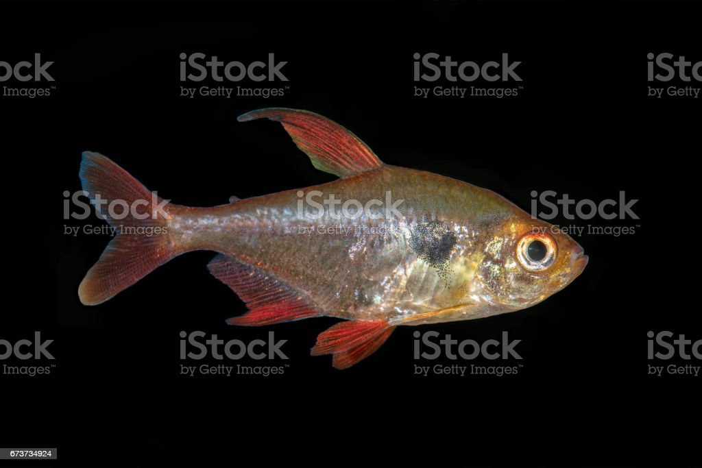 Tetra fish (Hyphessobrycon sweglesi) isolated on a black background photo libre de droits