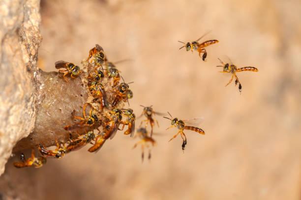 Tetragonisca angustula jatai bess on flight close - stingless bee stock photo