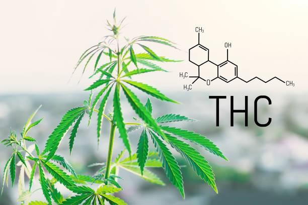 Tetrahydrocannabinol molecule formula background with marijuana. Molecular structure THC Tetrahydrocannabinol molecule formula background with marijuana. Molecular structure THC thc stock pictures, royalty-free photos & images