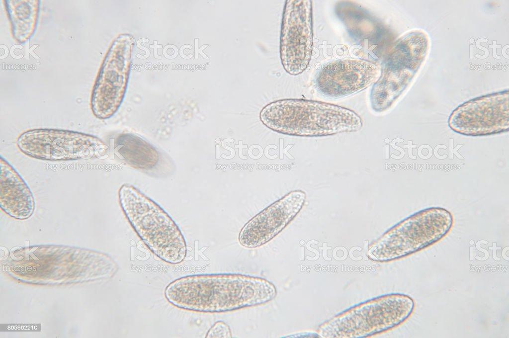 Tetrahymena is a genus of unicellular ciliated protozoan stock photo