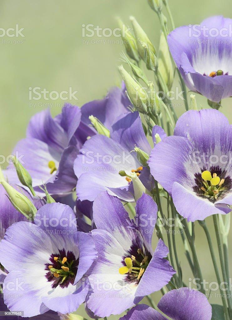 Texas Bluebells royalty-free stock photo