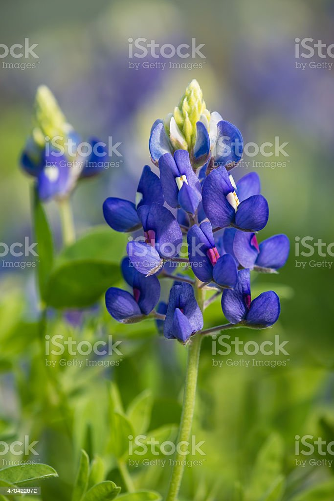 Texas Bluebonnet (Lupinus texensis) blooming in spring stock photo