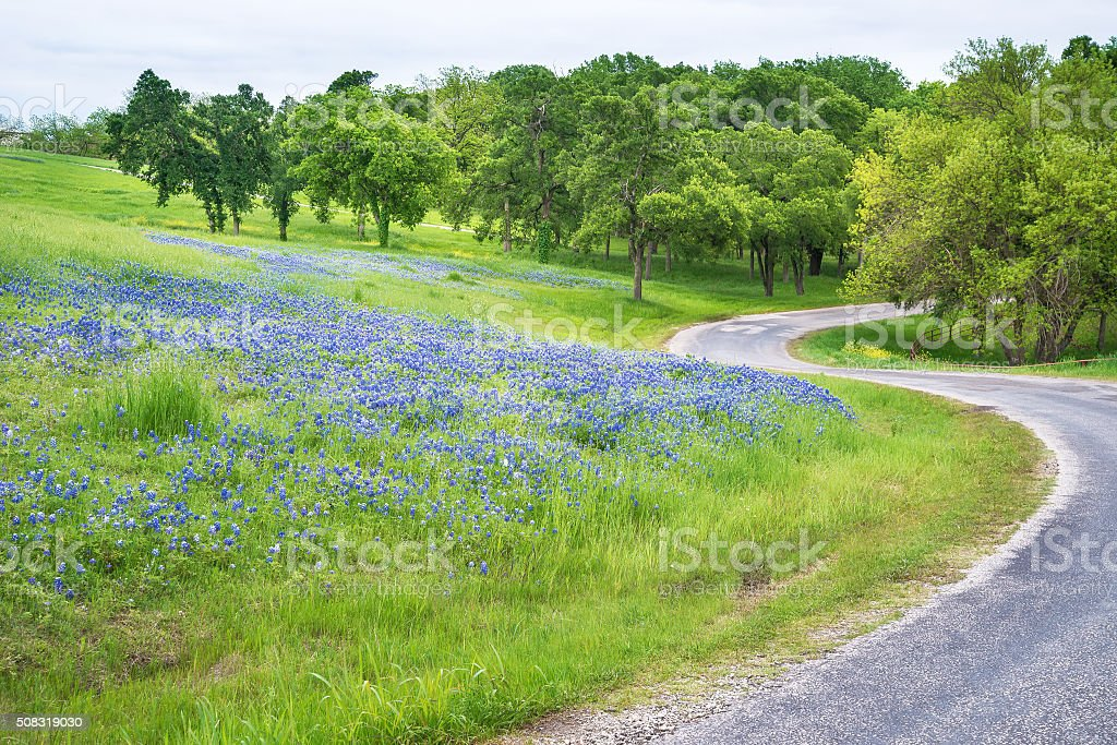 Texas bluebonnet field along curvy country road stock photo