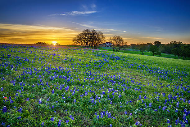 texas bluebonnet field at sunrise - bluebonnet stock photos and pictures