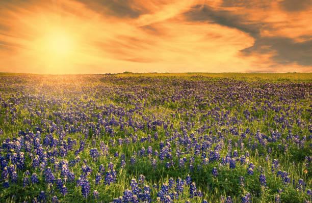 Texas Bluebonnet field at sunset stock photo