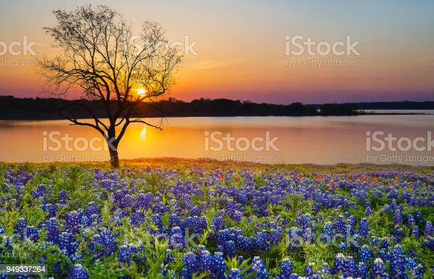 Photo of Texas Bluebonnet field blooming in the spring by a lake at sunset
