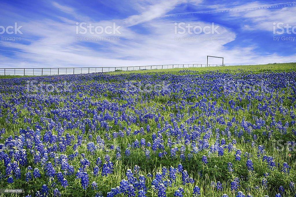 Texas Bluebonnet field in bloom stock photo
