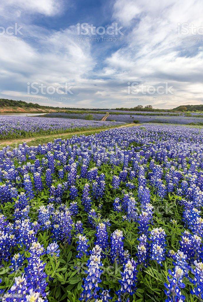Texas bluebonnet field in Muleshoe Bend, Austin, TX. stock photo