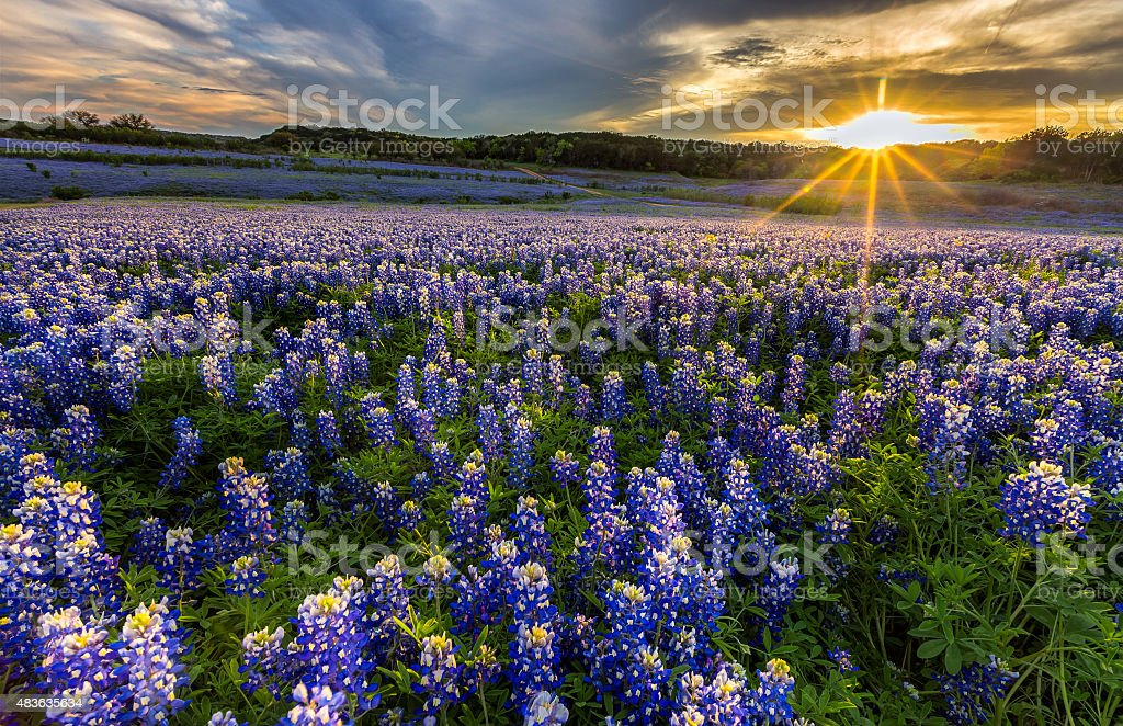 Texas bluebonnet field in sunset at Muleshoe Bend stock photo