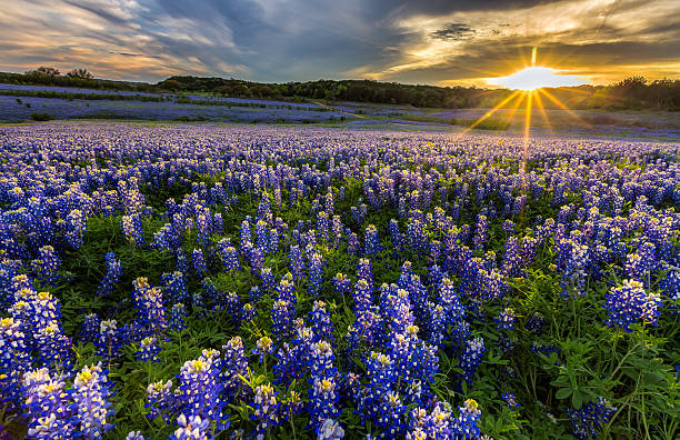 texas bluebonnet field in sunset at muleshoe bend - bluebonnet stock photos and pictures