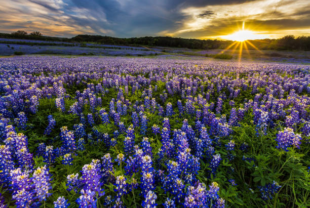 texas bluebonnet field in sunset at muleshoe bend recreation area - bluebonnet stock photos and pictures