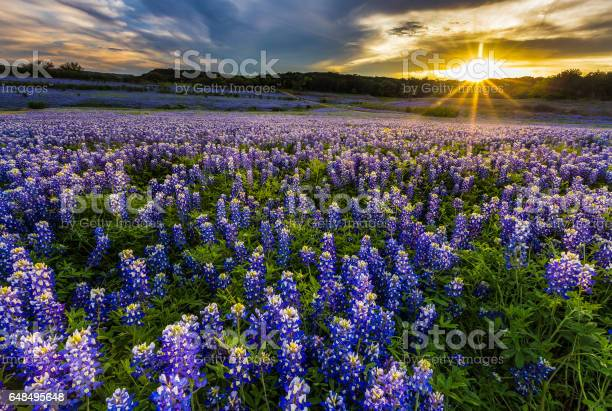 Photo of Texas bluebonnet field in sunset at Muleshoe Bend Recreation Area
