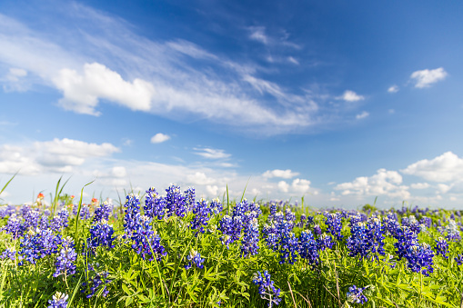 Texas Bluebonnet filed and blue sky in Ennis..