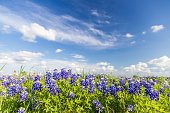 Texas Bluebonnet filed and blue sky in Ennis.