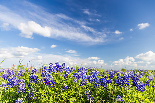 texas bluebonnet filed and blue sky in ennis.. - bluebonnet stock photos and pictures