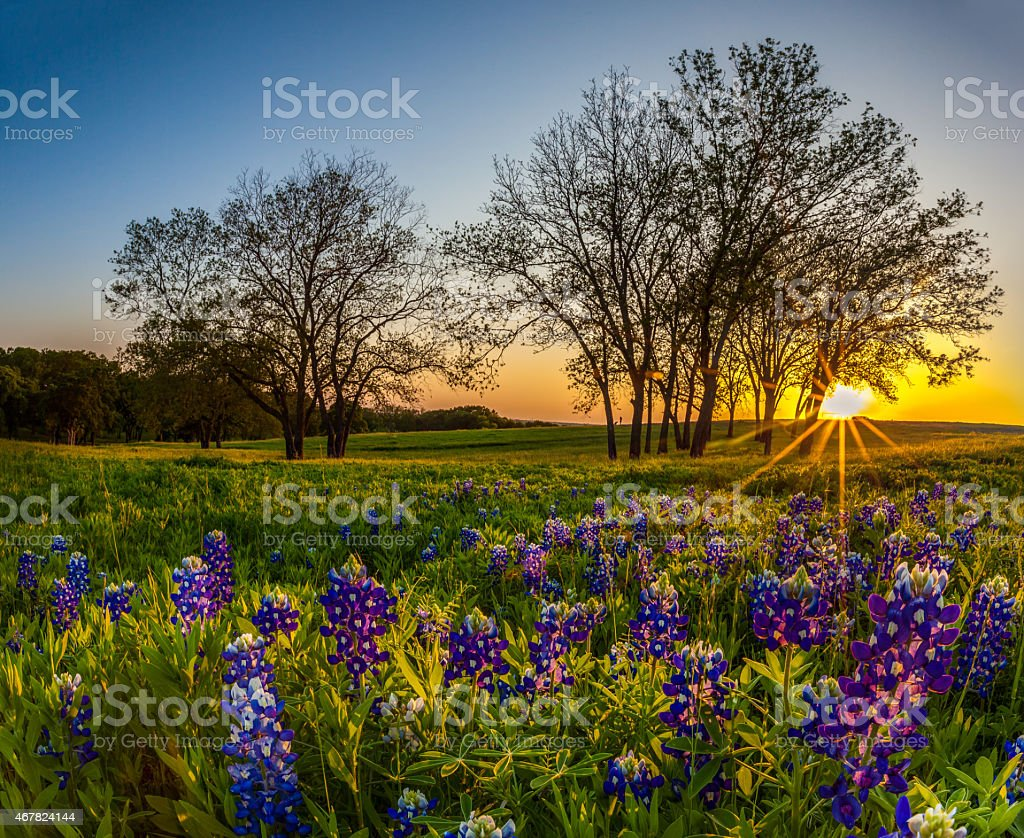 Texas bluebonnet filed at sunset in Spring stock photo