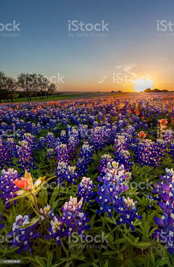 Texas bluebonnet flowers in a field at sunset  stock photo