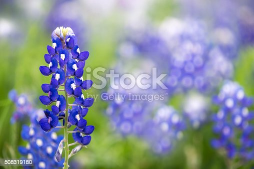 Texas Bluebonnet flower (Lupinus texensis) in spring
