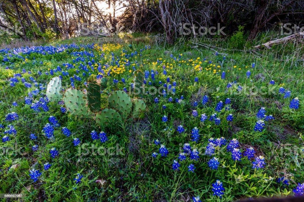 Texas Bluebonnets and Cactus at Muleshoe Bend in Texas. stock photo