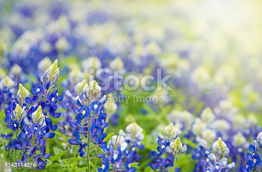 Texas Bluebonnet (Lupinus texensis) flowers blooming in springtime. Copy space.