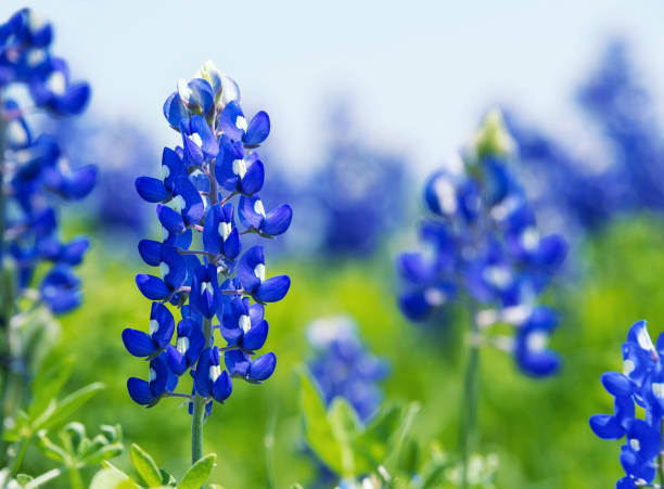 texas bluebonnets blooming in springtime - bluebonnet stock photos and pictures