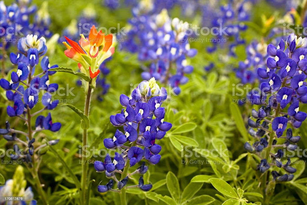 Texas Bluebonnets in spring meadow. Indian paintbrush flower. Field. royalty-free stock photo