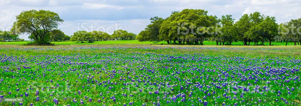 Texas Bluebonnets Panorama stock photo