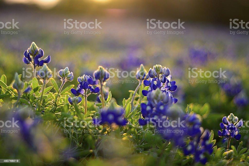 Texas Bluebonnets stock photo