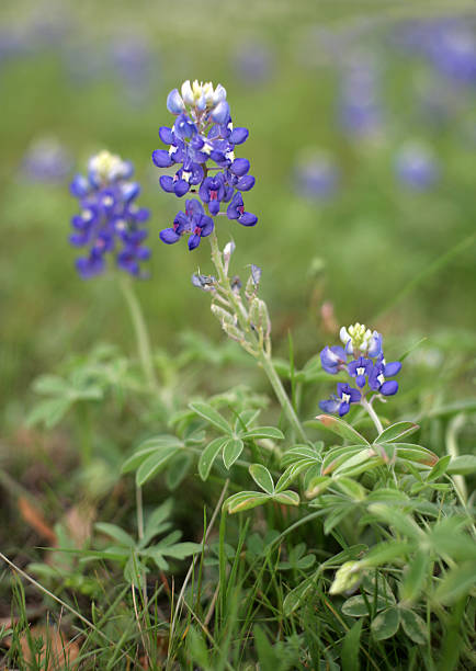Texas Bluebonnets  bunnylady stock pictures, royalty-free photos & images