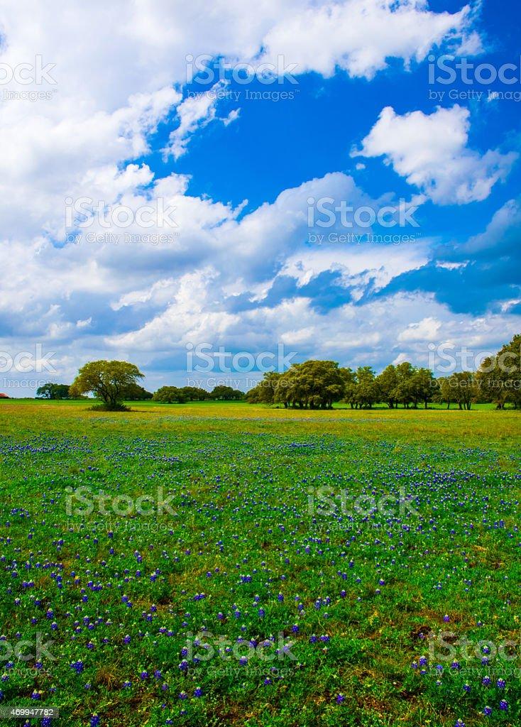 Texas Bluebonnets Vertical Image stock photo