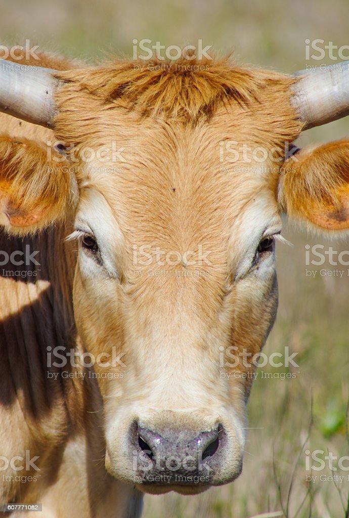 Texas cattle closeup stock photo
