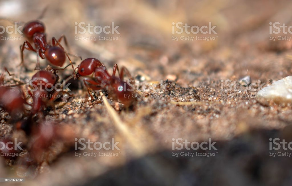 Texas fire ants stock photo