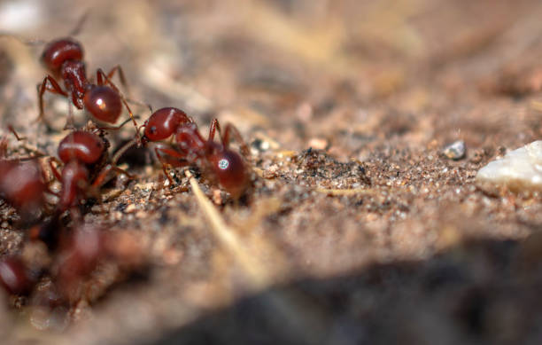 Texas fire ants stock photo