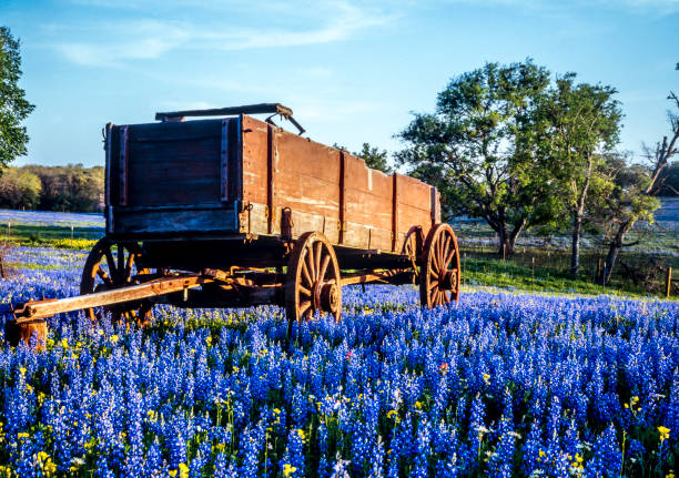 texas hill country - bluebonnet stock photos and pictures