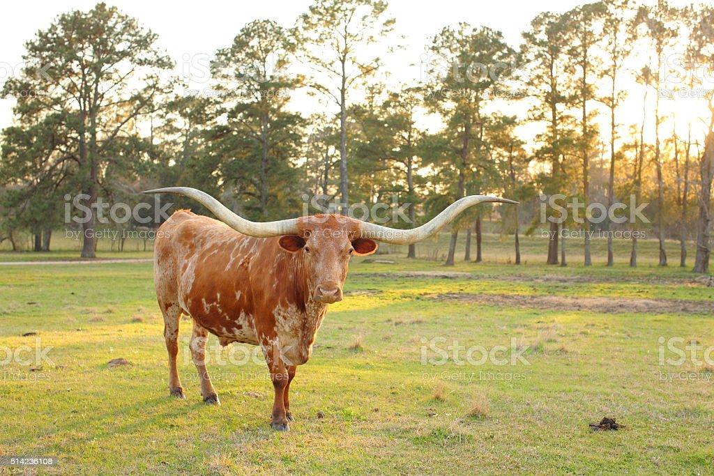 Texas Long Horn Cow Sunset stock photo
