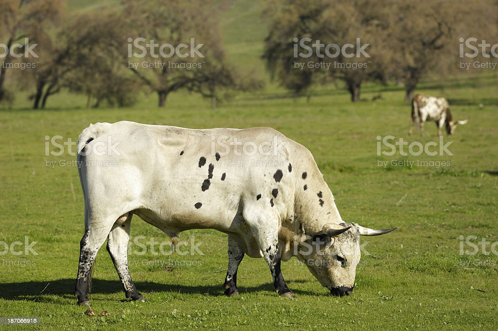 Texas Longhorn Bull in Pasture royalty-free stock photo