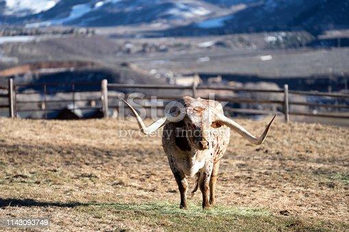 585090418 istock photo Texas Longhorn Bull 1143093749