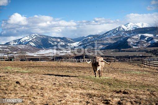 585090418 istock photo Texas Longhorn Bull 1143093750
