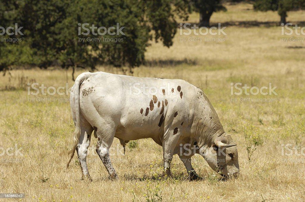Texas Longhorn Bull royalty-free stock photo
