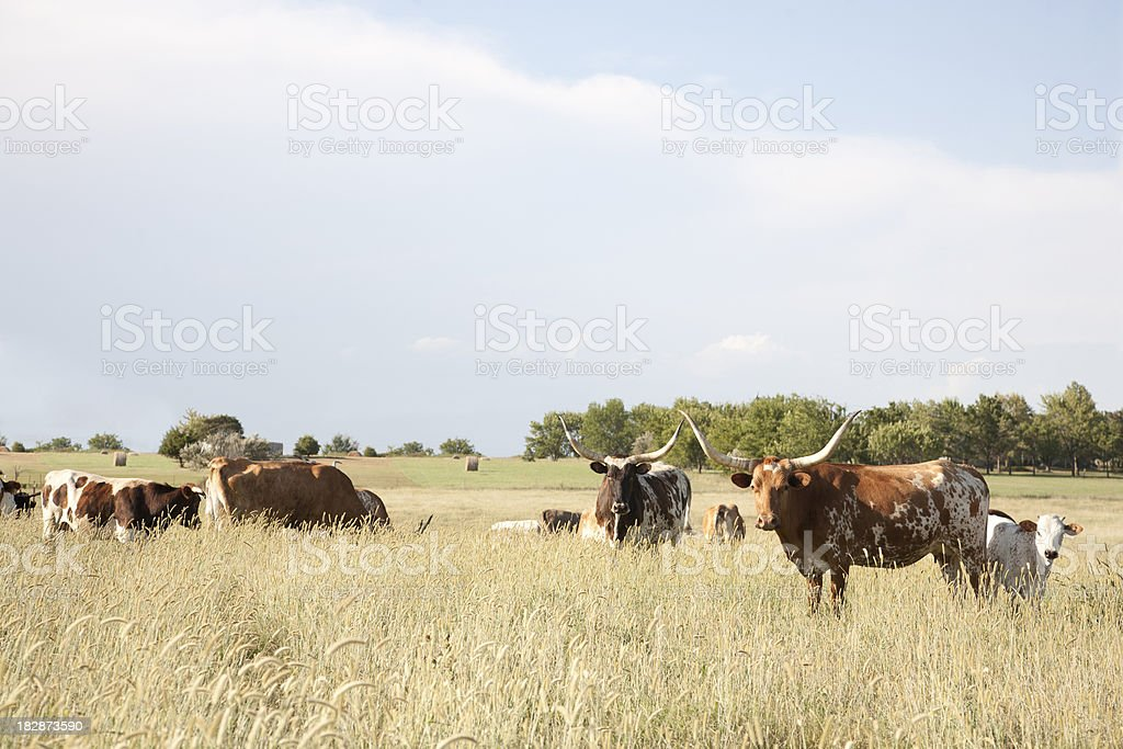Texas Longhorn Calf / Cow In Field stock photo