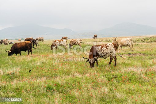 585090418 istock photo Texas Longhorn Cattle 1190430578