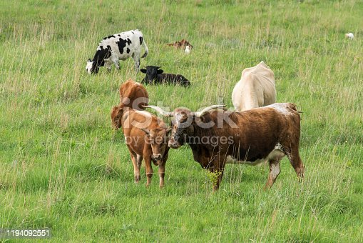 585090418 istock photo Texas Longhorn Cattle 1194092551