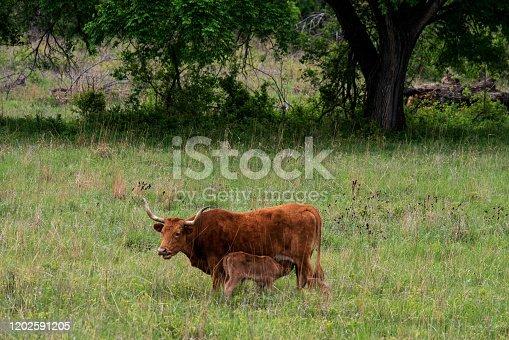 585090418 istock photo Texas Longhorn Cattle 1202591205