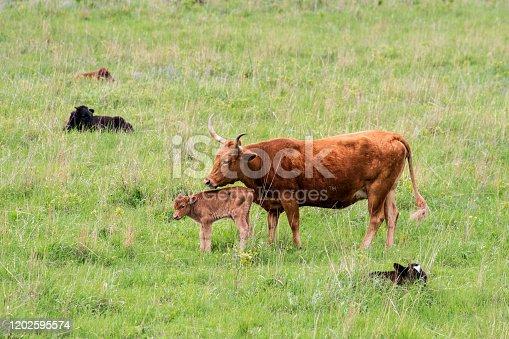 585090418 istock photo Texas Longhorn Cattle 1202595574