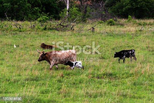 585090418 istock photo Texas Longhorn Cattle 1202618130